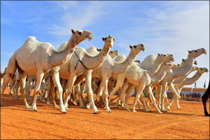Saudi Arabia Announces the Worlds Biggest Heritage Festival and Camel Beauty Contest